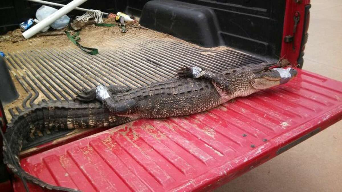 The female alligator will be relocated from a pond on Mizell Road to Anahuac, according to Liberty Police Department. The alligator is believed to be ready to lay eggs and her new accommodations will provide her the right place to do so.
