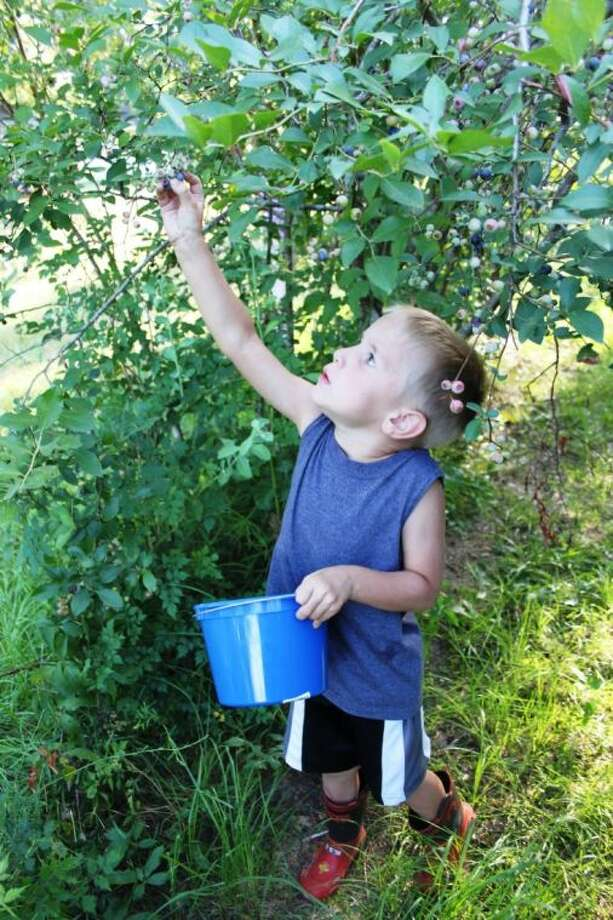 Four-year-old Kaden Brashier, son of Matt and Dana Brashier of Moss Hill, reaches for a ripe blueberry at Prairie Pines Farms in Tarkington. The farm sells pick-your-own blueberries for $7 per gallon. Photo: VANESA BRASHIER