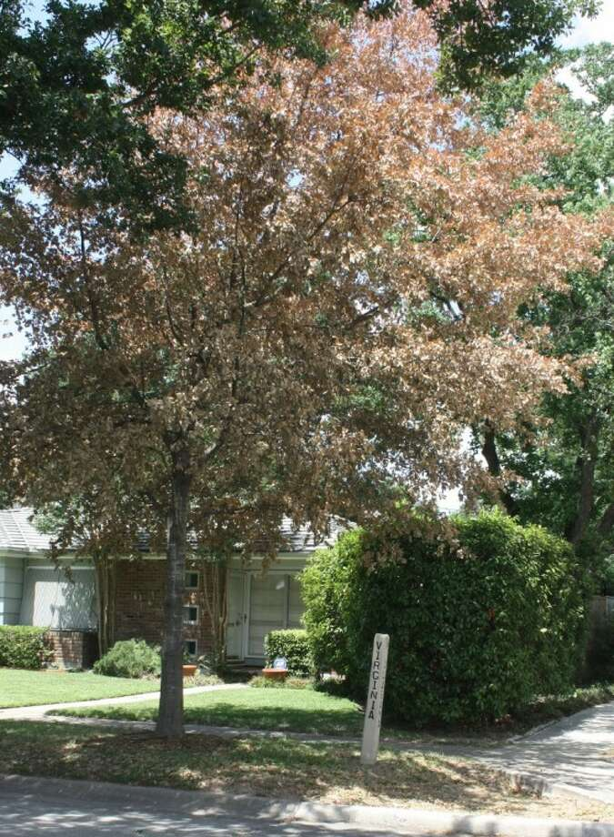 Photo by MICHAEL REED /HCNA previously heathy 20-year-old tree in an Upper Kirby yard may soon die, the homeowner says, as a result of drought and extreme temperatures.