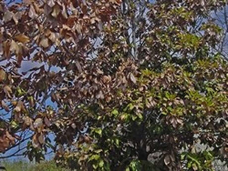 "File photoA magnolia tree's canopy shows signs of drought damage. Trees For Houston says early signs of damage include leaves that turn yellow and drop from all over the crown. As the damage progresses, leaves will die from the bottom of the tree upward and from the inside of the canopy outward. Sometimes leaves simply wilt, or ""burn"" along their edges. Photo: File Photo"