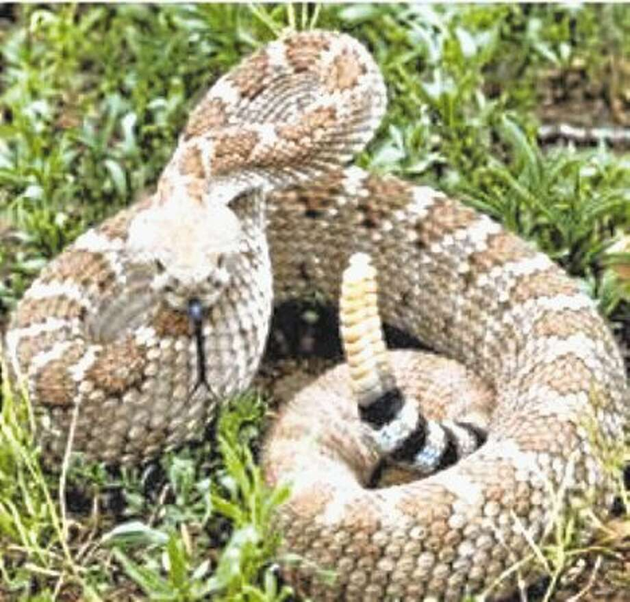 A lack of precipitation has led to a greater numbers of snakes being reported near homes. / @WireImgId=2395539