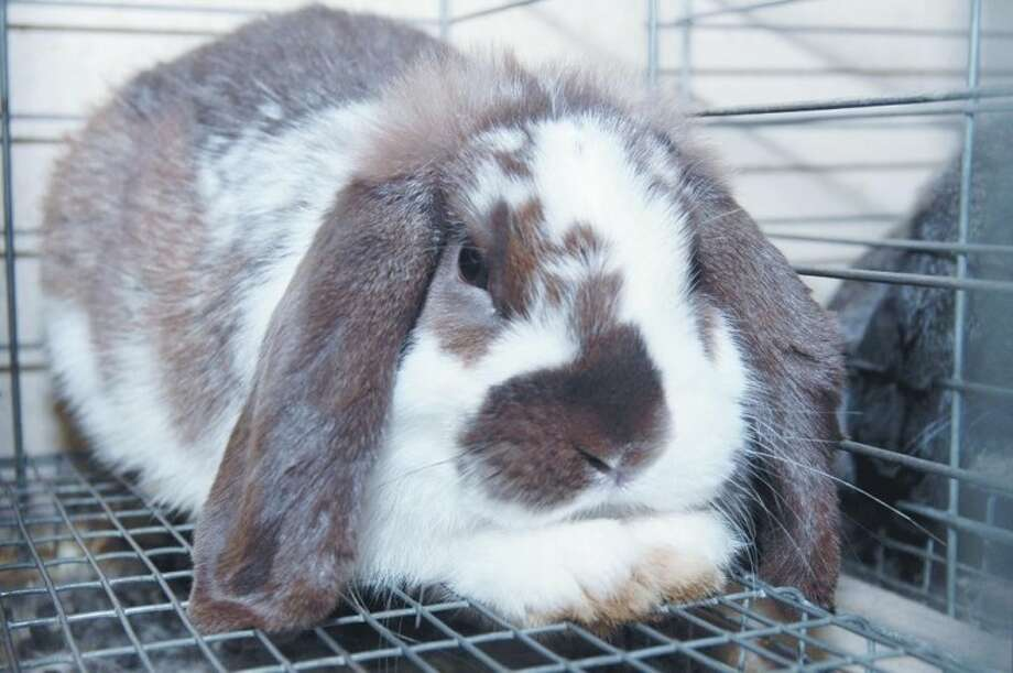 100 rabbits were rescued in Port Lavaca recently. The Citizens for Animal Protection shelter is seeking donations of food and supplies for the rabbits as well as volunteers to take care of the animals.