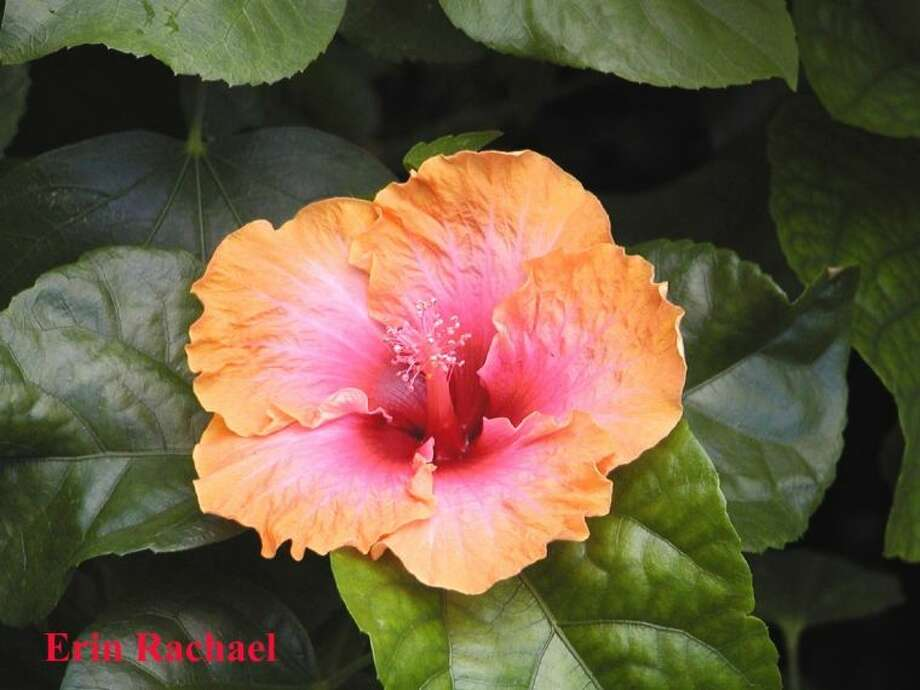 An Erin Rachael hibiscus bloom.