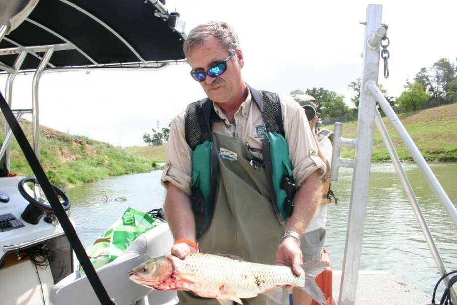Texas Parks and Wildlife Department Coastal Fisheries regional director Lance Robinson collects an invasive grass carp pulled June 21 from Houston's Brays Bayou. The species does not belong there and causes ecological damage. Robinson works with the Texas Rapid Assessment Team, the first compilation of its kind in Texas, which includes about 50 experts from as far away as Mississippi and Florida as well as the Texas Parks and Wildlife Department, Texas A&M University-Galveston, University of Houston-Clear Lake, the Houston Advanced Research Center and Texas Sea Grant. The scientists gathered plant and animal species and other data in the lower Galveston watershed from June 19-24 in the inaugural wave of biological sampling aimed at developing a response to the problem. Photo: STEPHEN THOMAS