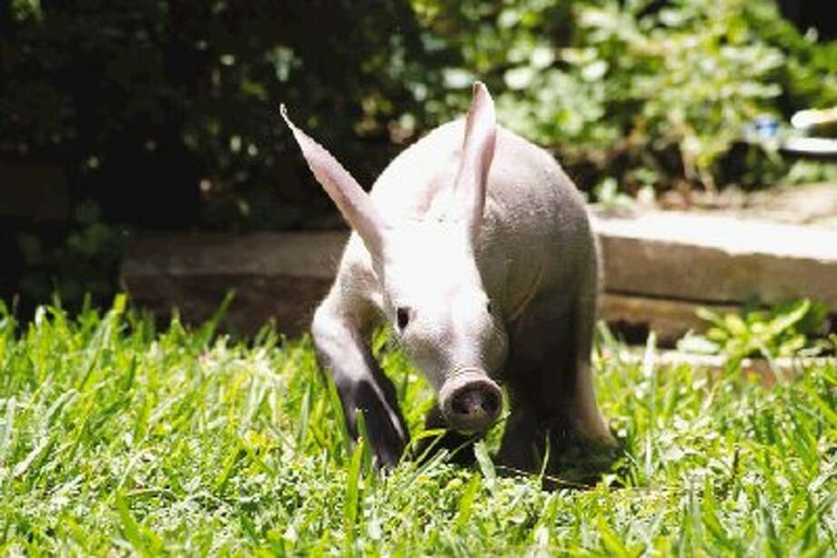 """Creature"" a baby aardvark was born on April 23, at TGR Exotics Wildlife Park."