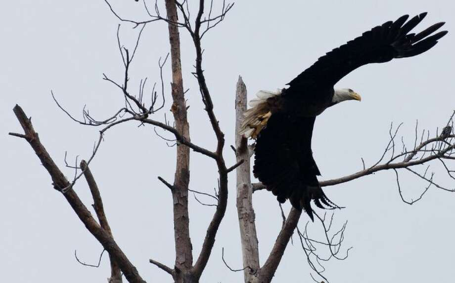 A bald eagle, the universal symbol for the American spirit, searches for food in Lake Houston.
