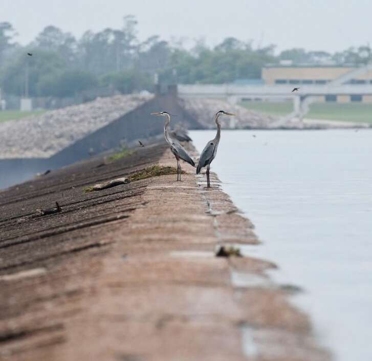 Two herons survey the area from atop the Lake Houston dam.