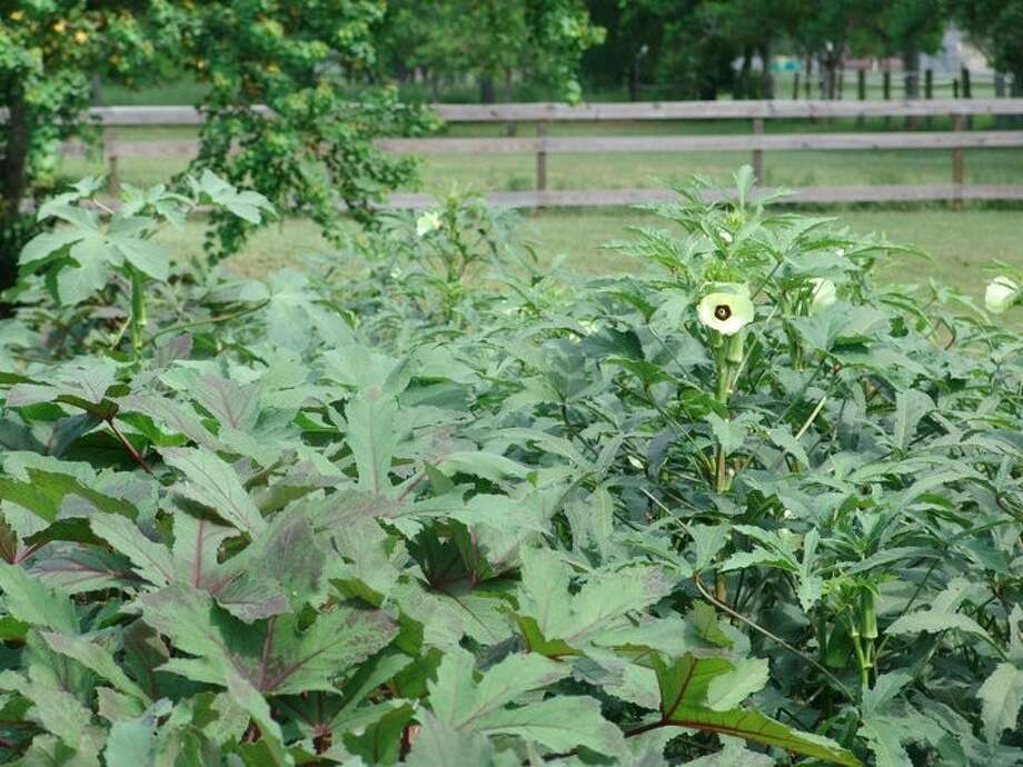 Clemson spineless and Cajun Delight are two of many okra varieties that grow well here.
