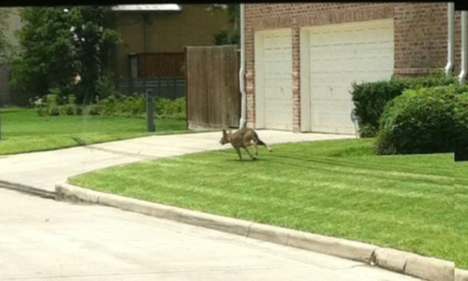 Caught on camera, a coyote wanders along Avenue B and Willow. Photo: Submitted
