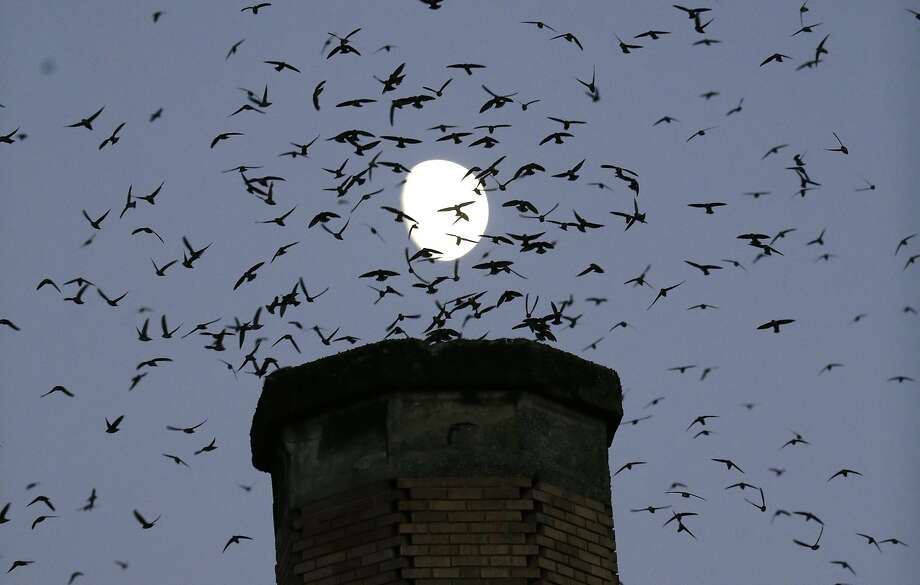 Vaux's Swift migratory birds flock to roost for the night inside a large, brick chimney near Chapman Elementary School in Portland, Ore. Photo: Don Ryan, Associated Press