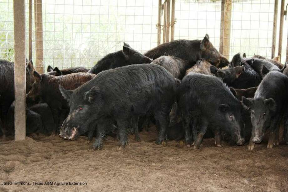 An estimated 2.6 million feral hogs now roam the countryside of Texas, according to Texas A&M research. The hogs cause millions in damages to crops and hay pastures and can contaminate water sources such as the Lake Houston Watershed.