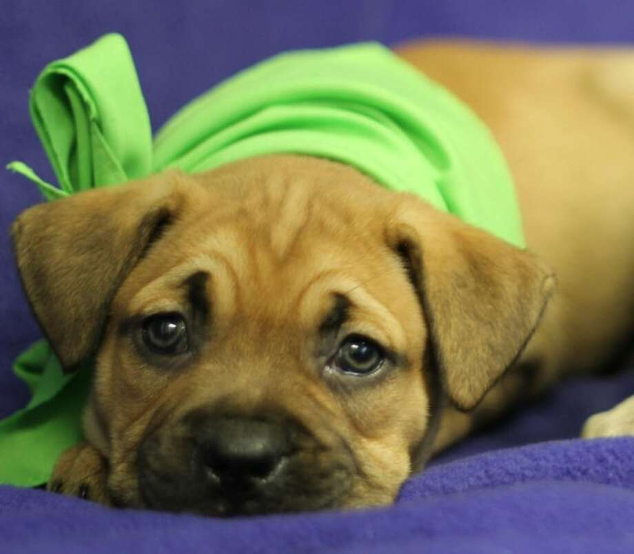 Who can resist a face like that? BARC has dozens of puppies ready for adoption.