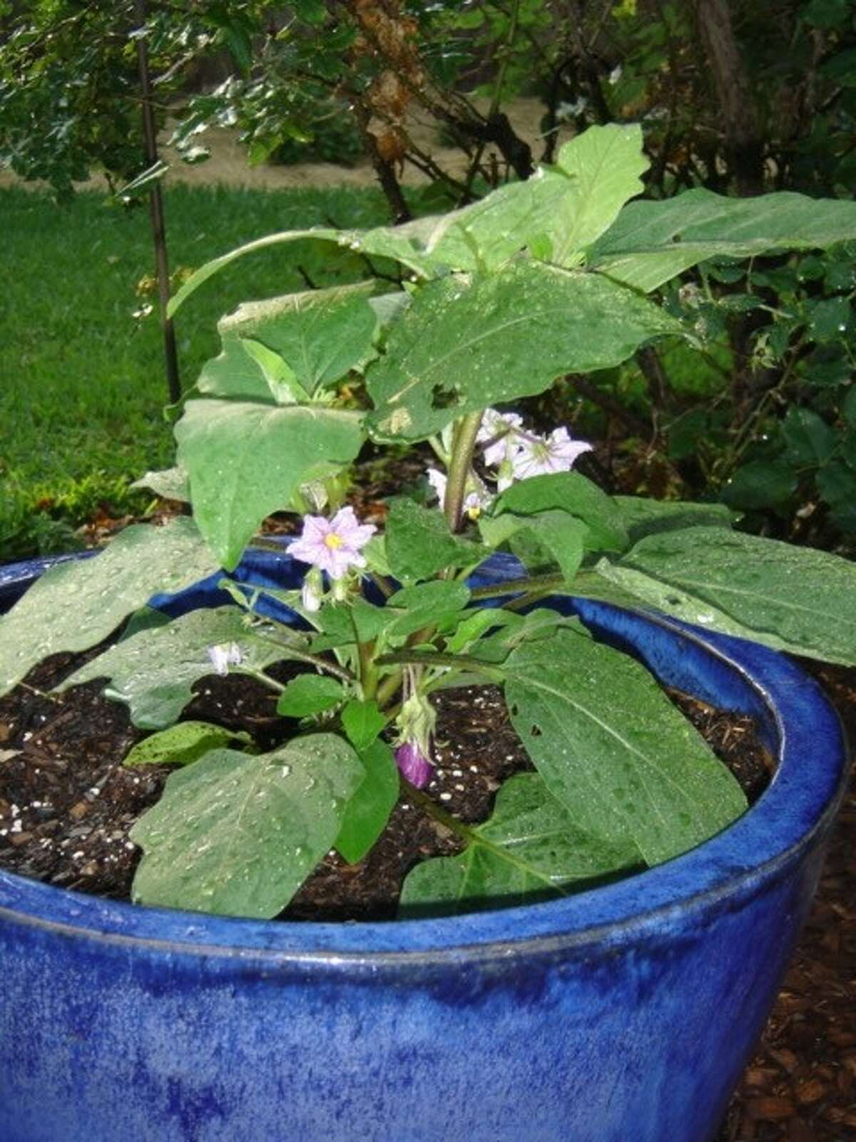 Fairy Tale eggplant can be grown in pots.