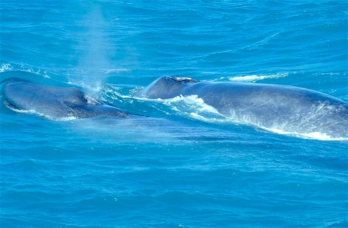 Blue whales surface along boat on whale watching trip at Farallon Islands off the San Francisco coast