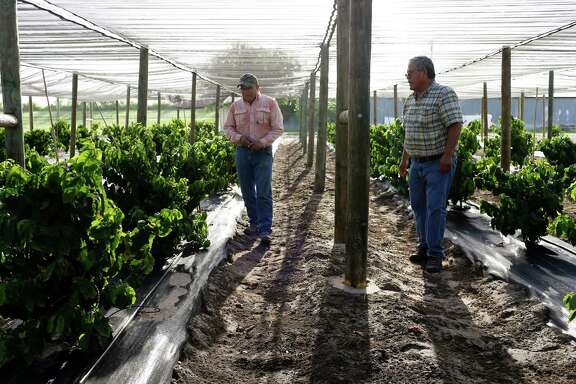 Texas A&M Agrilife Research and Extension Service facility technicians Eduardo Serna, left, and Alfredo Rodriguez tend to coffee plants in Weslaco, Texas. The 230 plants come from different parts of the world and are part of a global project to study and improve coffee varieties.
