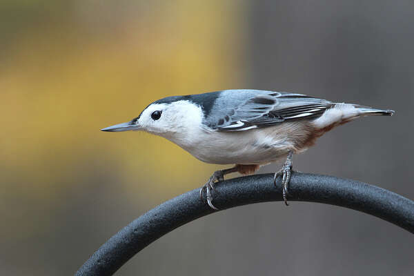 A white-breasted nuthatch perches on a feeder pole.