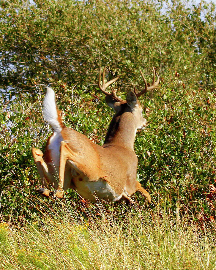 Texas bowhunters heading afield for the Oct. 1 opening of the state's 35-day archery-only season for white-tailed deer can expect robust deer and challenging hunting conditions, both tied to this extremely wet year and resulting lush vegetation.