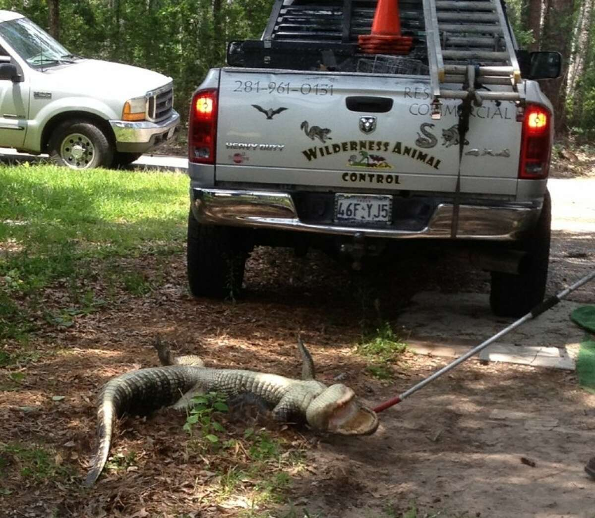 The alligator was captured alive and transported to Chambers County for release.