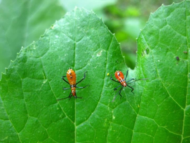 Gumbosoil Two Spots Means Stink Bug Babies Houston