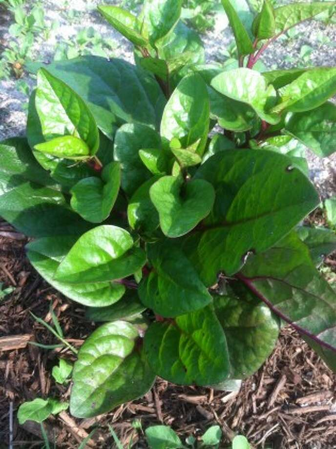 GumboSoil: Greens to grow in Texas' hot weather