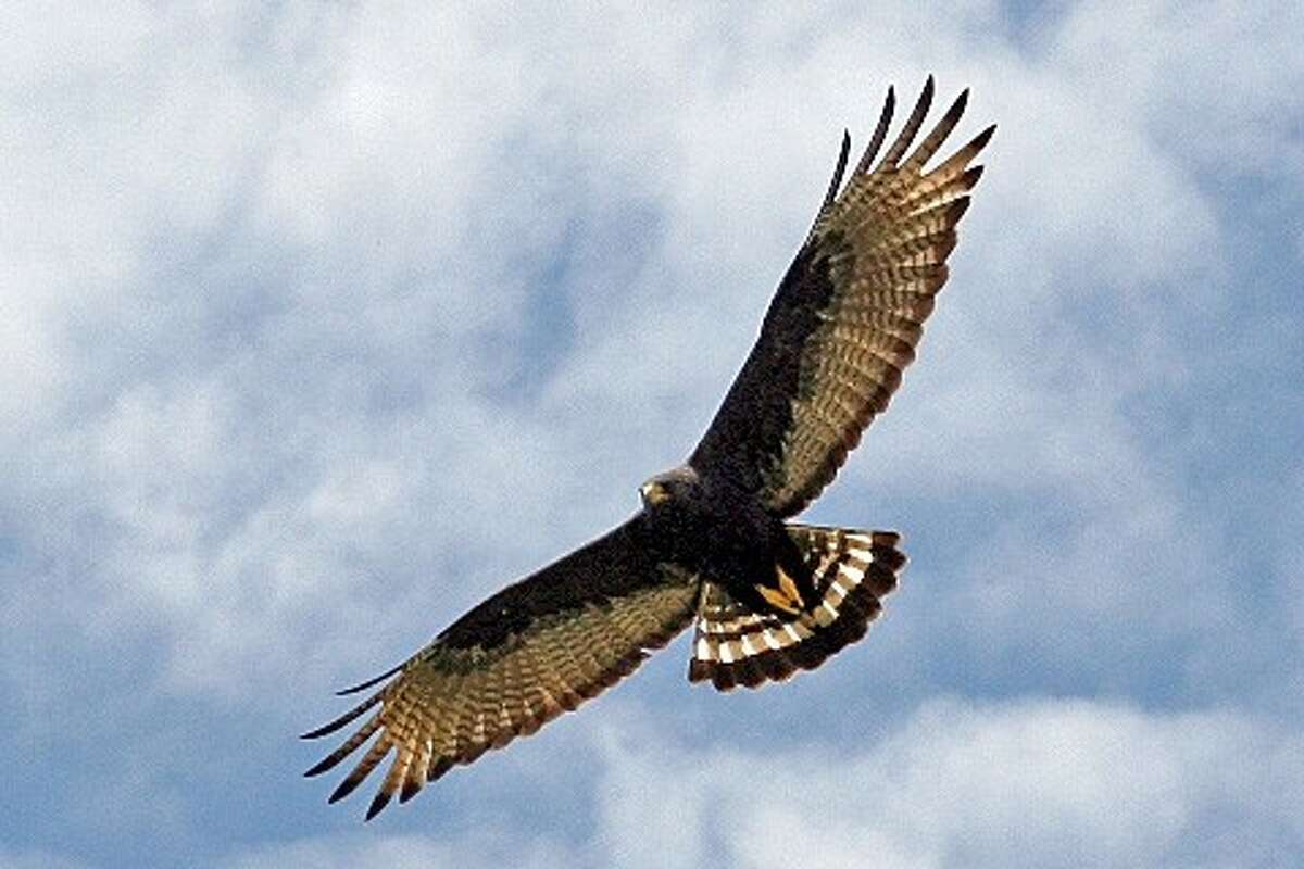 Hawks are predators than can swoop down in a second and carry off smaller creatures. West U authorities have issued a warning for residents to protect their small animals.