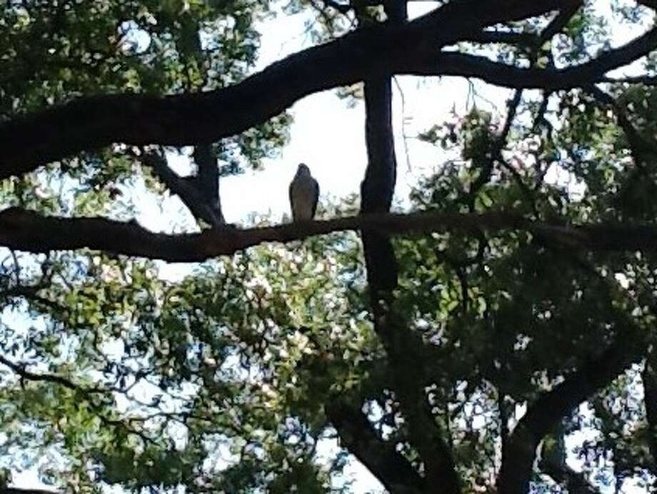 A West U resident captured this image of what is believed to be a hawk in a residential neighborhood. The city has warned residents to keep their small animals safe. Photo: WAVERLY GAGE