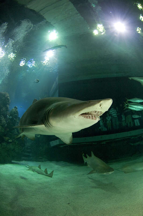 July 30 31 Is Shark Weekend At The Downtown Aquarium