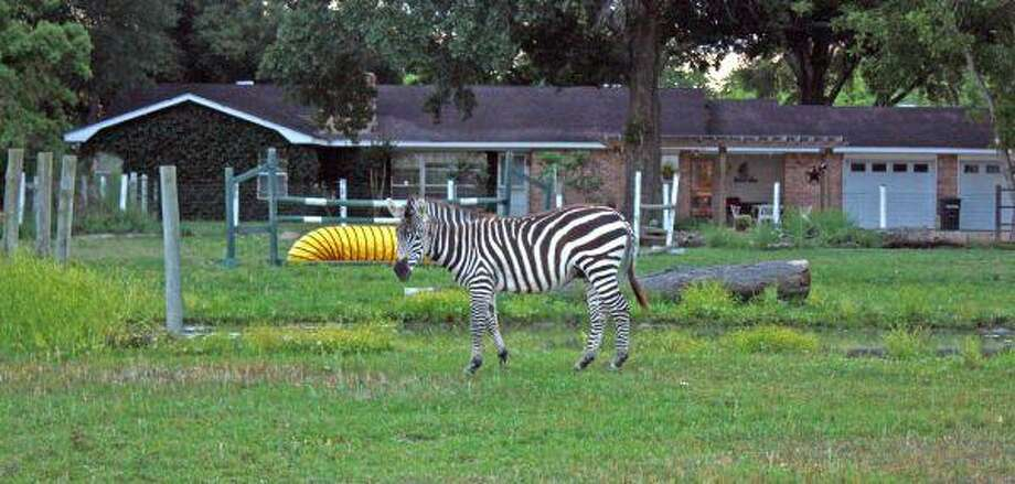 A zebra grazes in a pasture just north of Brookshire. The African animal shares space with some horses and appeared to be quite content.