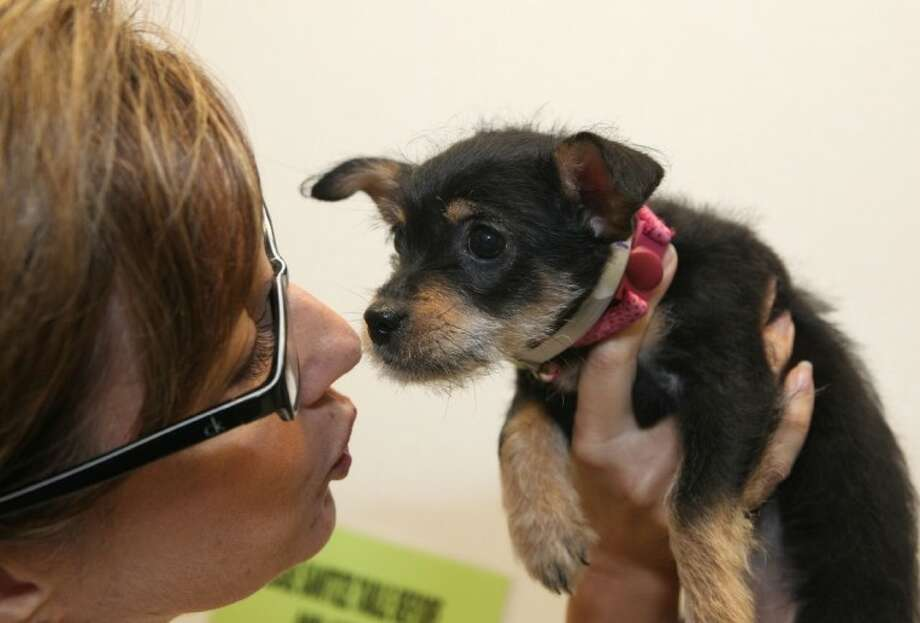 Spice, a Jack Russell Terrier mix, gets some attention from Carlene Lormand of BARC as she awaits adoption at BARC Animal Shelter and Adoptions in Houston. BARC is participating in a National No Kill 'Just One Day' event on Monday. Photo: ALAN WARREN