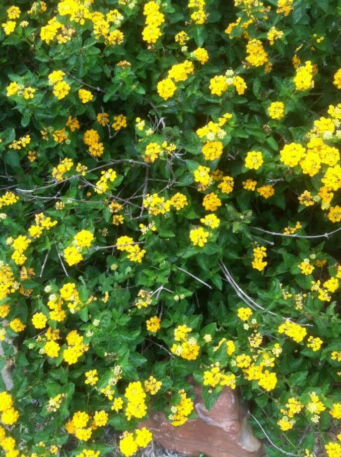 Yellow Lantana is the most common, but it also comes in red and orange shades. Photo: JIM MOLONY