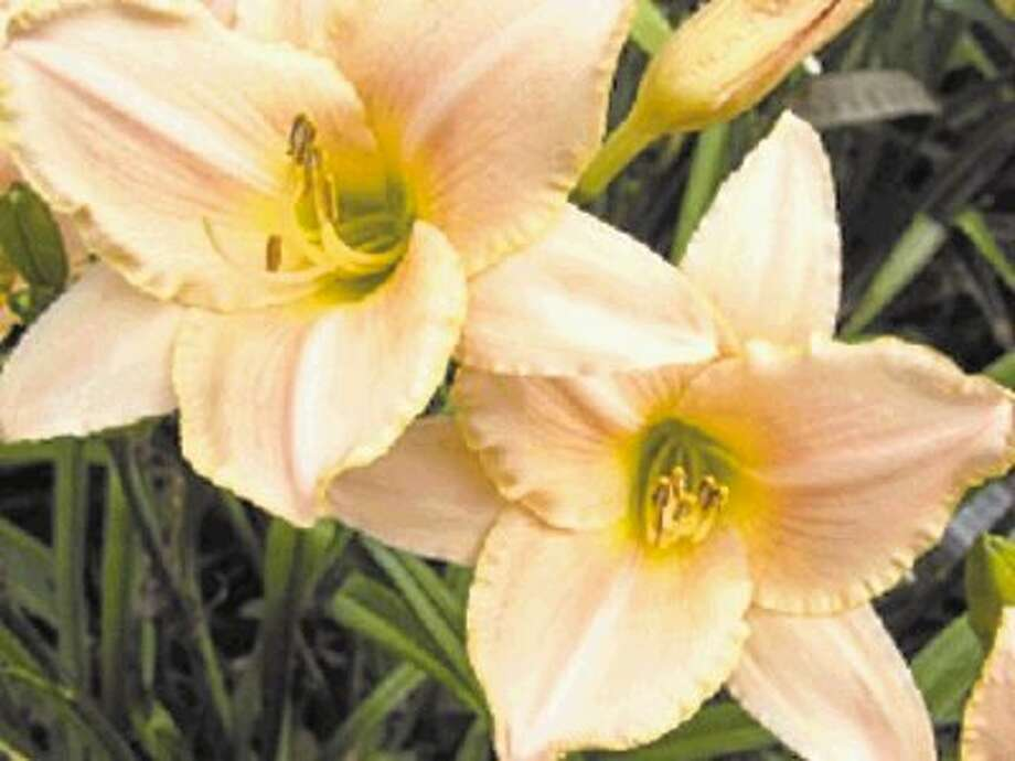 "Daylily ""Serena Lady"" (Hemerocallis) is a good choice for planting this month. / @WireImgId=2625932"