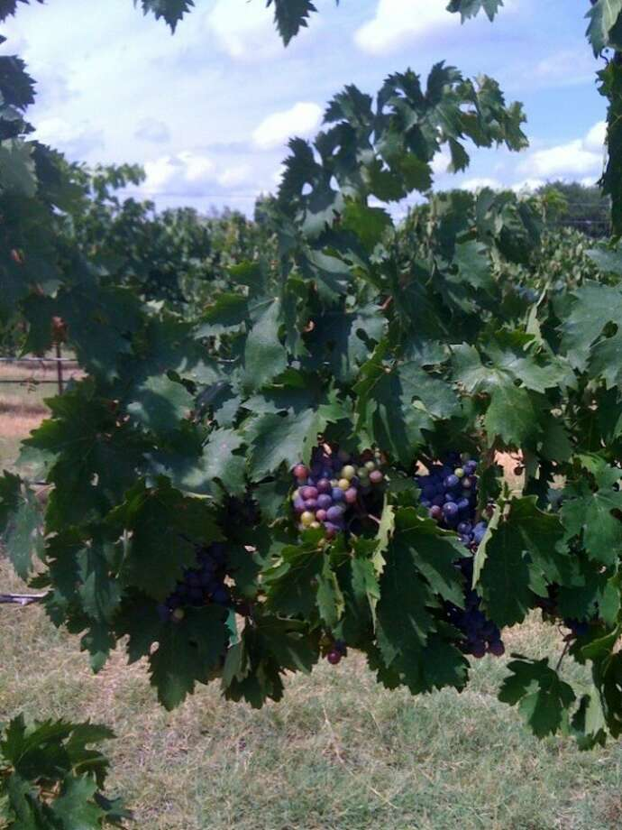 """""""Monty"""" Montepulciano Grape is going through the beginnings of verasion in the Texas Hill Country. Visit """"Monty"""" at the Grape Creek Winery on U.S. Highway 290, just east of Fredericksburg. His brothers have award-winning wines for you to enjoy!"""