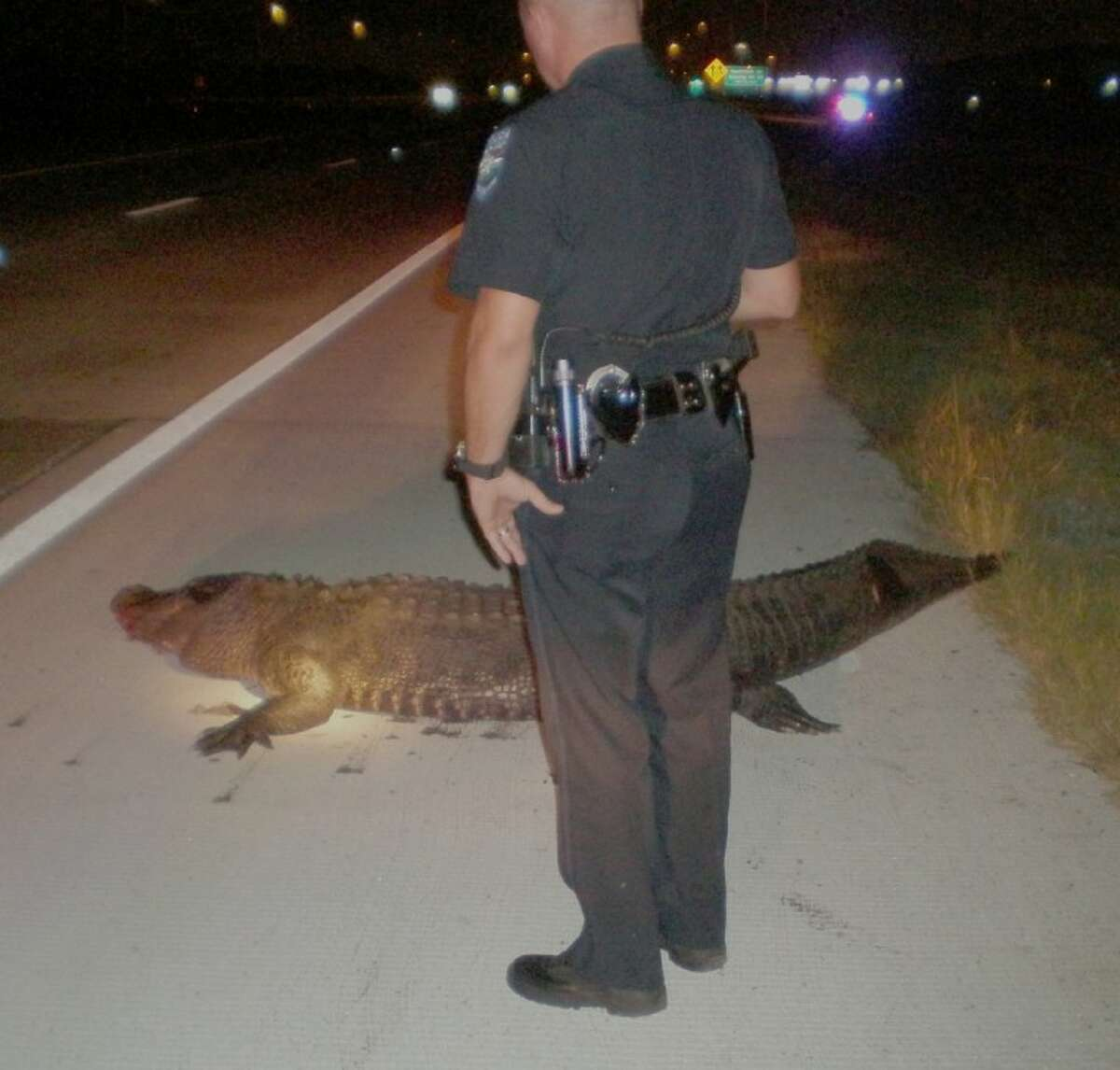 Pearland Police were called to investigate reports of a ten-foot-long dead alligator on SH 288.