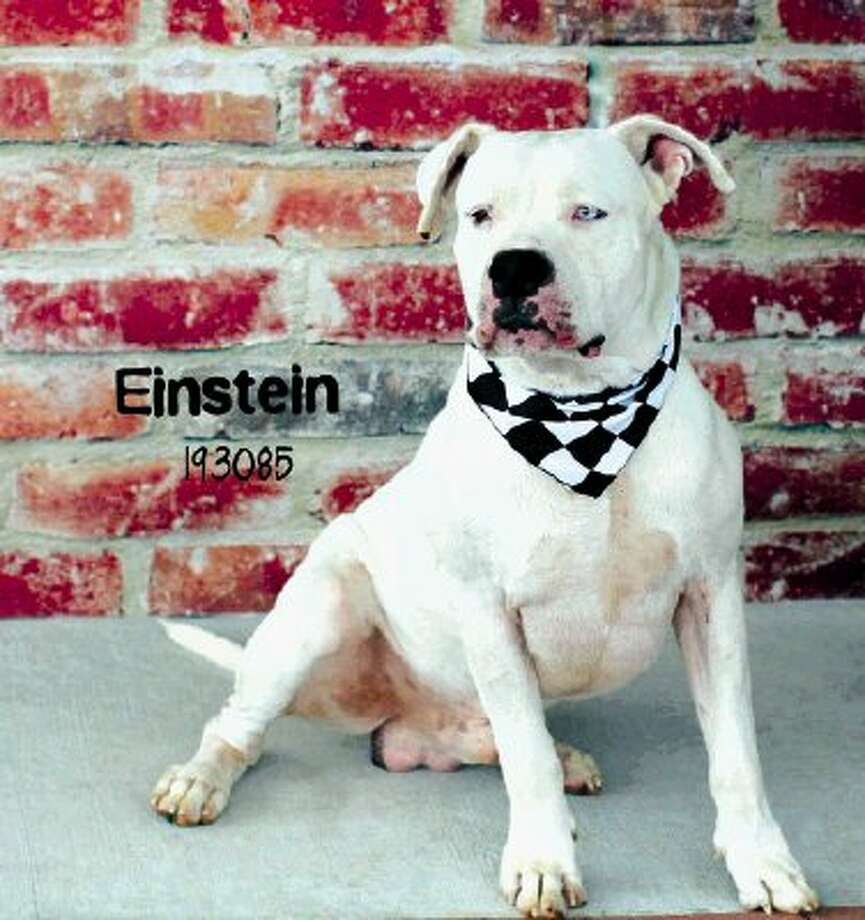 A beautiful American Bulldog named Einstein is missing in the 1485 East/Redbud area. Believed to be stolen! $200 reward for his safe return. Please share and contact Montgomery County Animal Shelter if found.