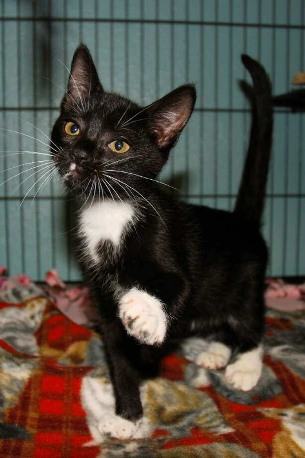 Luca, a 4 1/2 month old male domestic short hair feline, is friendly and loving. For more information visit www.aartomball.org or Abandoned Animal Rescue, 419 E. Hufsmith, Tomball, or call 281-290-0121