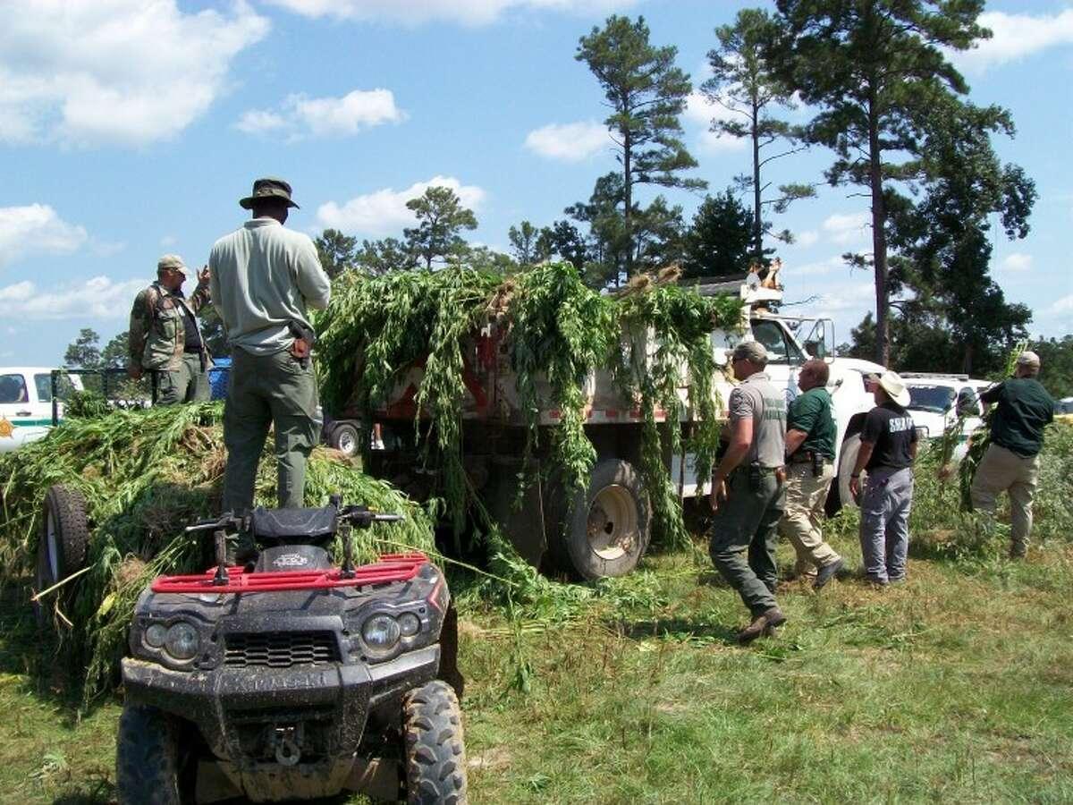 Polk County 30,000 marijuana plants bust