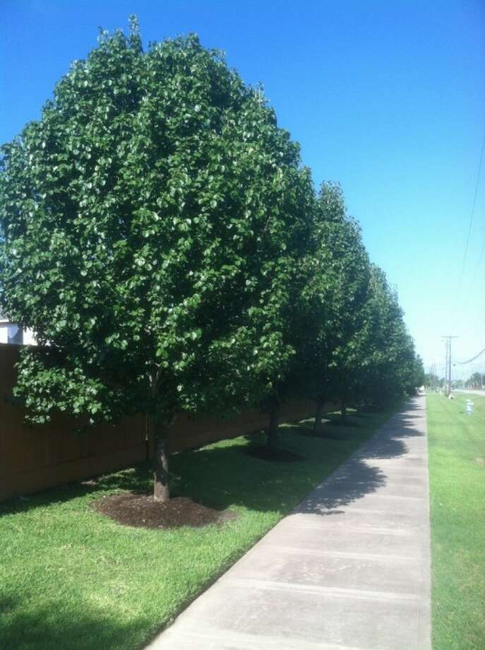 Bradford pear tree pairs pros and cons for consideration Bradford pear