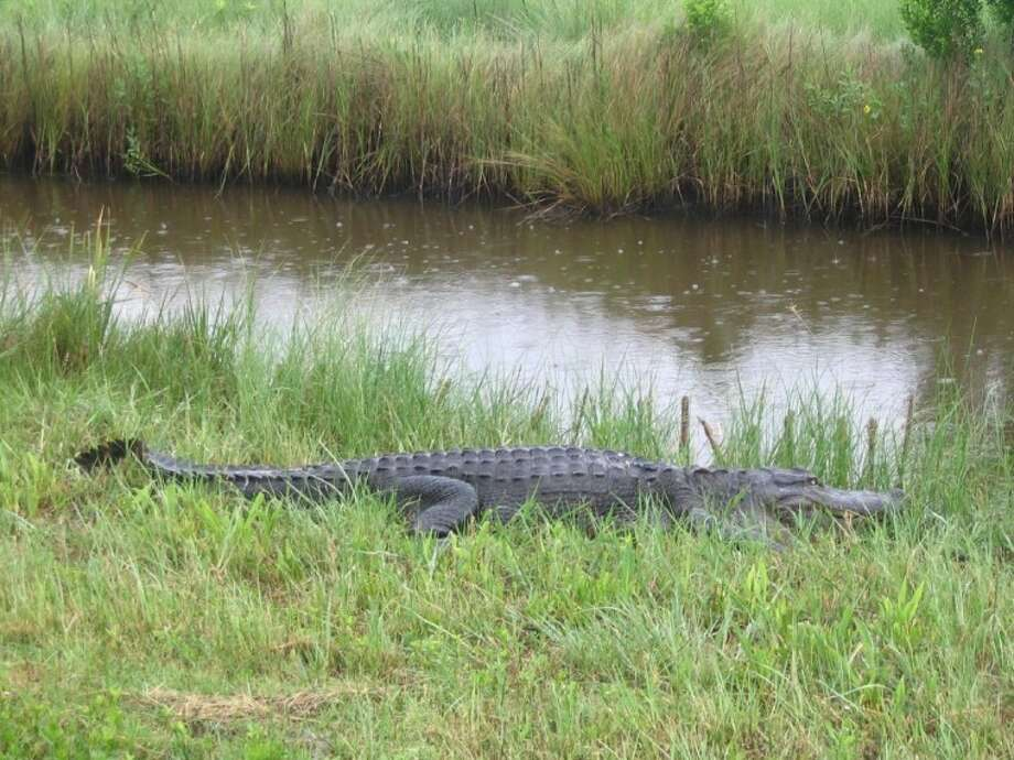 An alligator at the Anahuac National Wildlife Refuge.