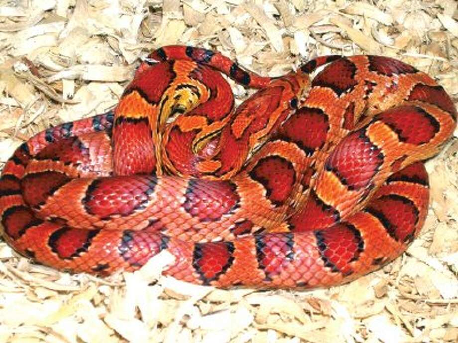 Corn Snakes are a popular choice for those wishing to have a pet snake.