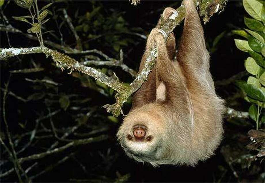 The sloth provides us with a role model during the dog days of summer.