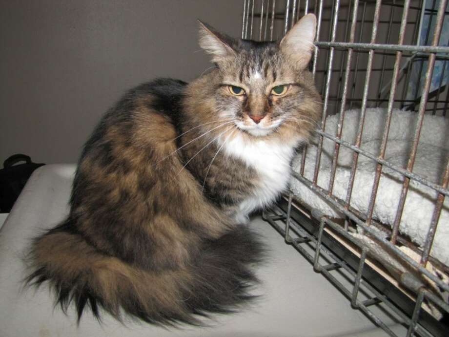 This 9-year-old Tabby mix is a purr machine who loves to be petted. For more information visit www.aartomball.org.