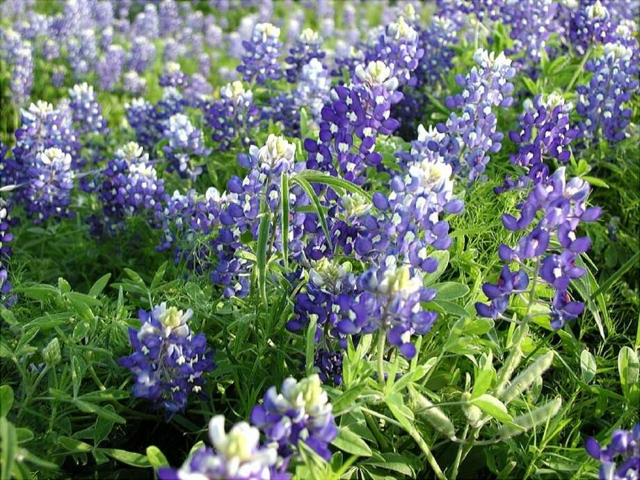 Fall is the prime time to plant bluebonnets that will bloom in spring.