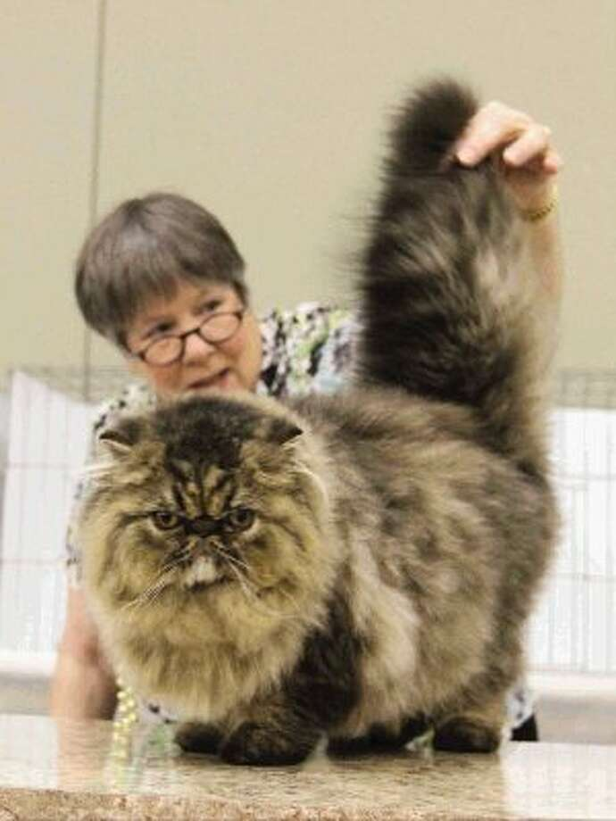 Pam Bassett judges a Persian's body structure during the Star & Stripes Cat Club's 40th Annual Cat Show at the Lone Star Expo Center Saturday. Go to HCNPics.com to view and purchase this photo, and others like it. Photo: Staff Photo By Jason Fochtman / Conroe Courier