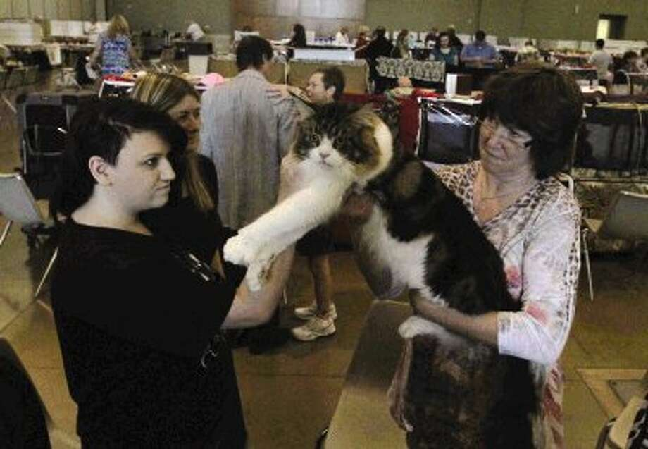 Nathalie Callihan looks at Donna Hinton's cat, Cursier, during the Star & Stripes Cat Club's 40th Annual Cat Show at the Lone Star Expo Center Saturday. Go to HCNPics.com to view and purchase this photo, and others like it. Photo: Staff Photo By Jason Fochtman / Conroe Courier