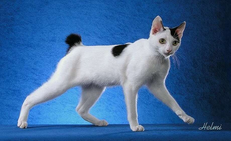 The Stars & Stripes Cat Club's Annual Championship and Household Pet Cat Show is today at 10 a.m. at the Lone Star Expo Center on Airport Road in Conroe. Entry fee is $5 for adults and $4 for children, senior citizens and military personnel. Pictured above is Fujimaro, a Japanese Bobtail that won National Best of Breed in 2003-04, owned by Toni Huff.