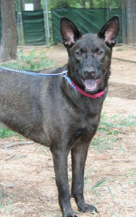Duffy, a 2 1/2 year old female lab heeler mix, needs a calm home and loving surroundings to come out of her shell. For more information, visit AAR at www.aartomball.org.