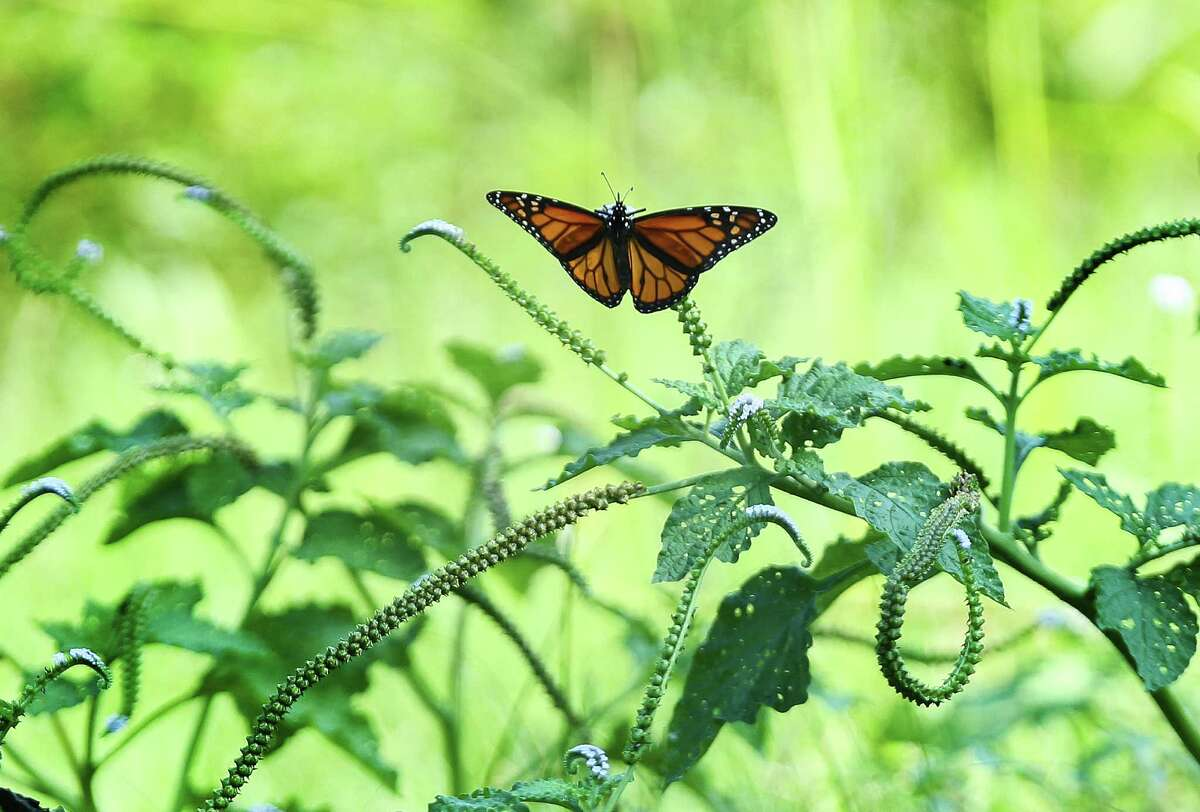 A Monarch butterfly rest on folage in the Nature Conservancy are photographed Tuesday, Sept. 19, 2016. The Nature Conservancy has gotten a $14 million donation from an Australian company to purchase ecologically valuable land in Texas and Arkansas. Here, the money will go to preserve the Columbia bottomlands in Brazoria County which is primo bird habitat.