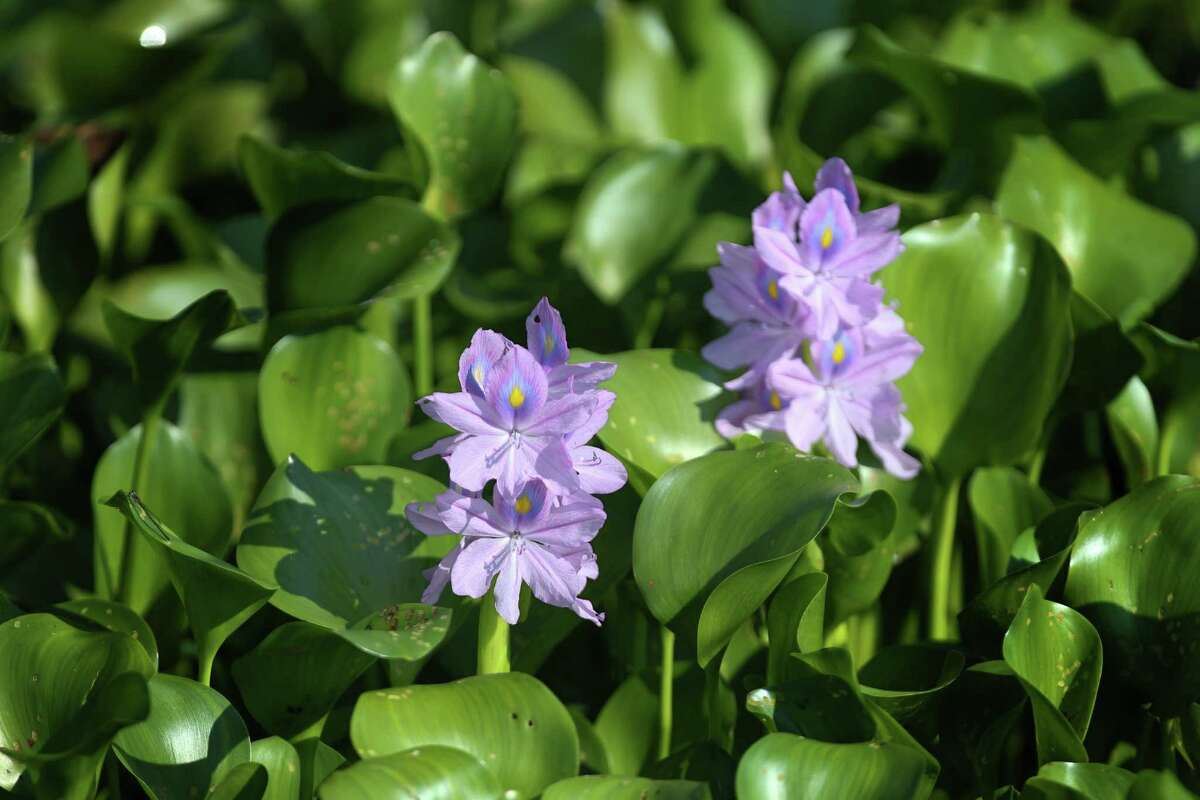 A water Hyacinth, an invasive plant has take over part of a pond in the the Nature Conservancy are photographed Tuesday, Sept. 19, 2016. The plants will have to be removed from the waterway. The Nature Conservancy has gotten a $14 million donation from an Australian company to purchase ecologically valuable land in Texas and Arkansas. Here, the money will go to preserve the Columbia bottomlands in Brazoria County which is primo bird habitat. ( Steve Gonzales / Houston Chronicle )A