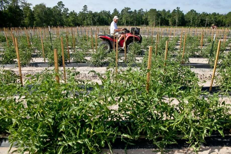 Van Weldon uses his four-wheeler to monitor the crops growing on Wood Duck Farm. This year has yielded a healthy amount of tomatoes as well as other produce that he sells to restaurants and consumers looking for healthy eating options.