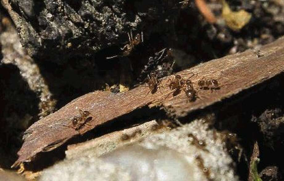 Tawny Crazy Ants have made their way into the Tomball area. The ants have become a nuisance to area homeowners and businesses because they get into electrical wiring and cause problems by shutting down breaker boxes. Photo: Staff Photo By Jason Fochtman